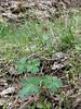 Delphinium turkmenum