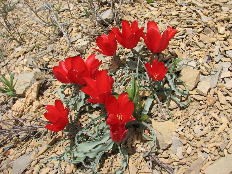 Tulipa botschantzeva