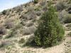 Juniperus excelsa