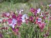 Salvia hydrangea