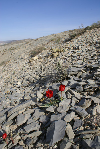 habitat of Tulipa montana, North Khorasan, Koppe Dag, W of Ali Mohammad (N of Bojnurd) 11 )