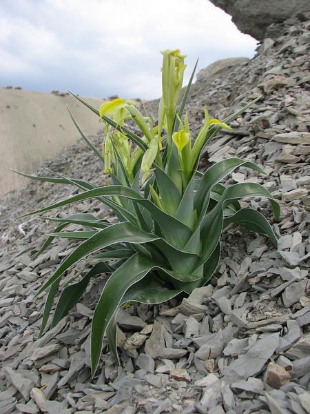 Iris kopetdagensis