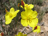 Bongardia chrysogonum (Iran, Razawi Khorasam, Koppe Dag mountains, 2000m. 7 km S of Bajgiran 19)