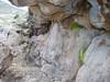 habitat of Dionysia tapetodes