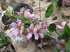 Prunus prostata