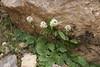 Valeriana sisymbriifolium