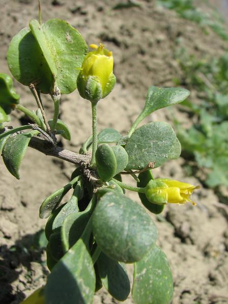 Zygophyllum megacarpum