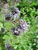 Solenanthus circinatus