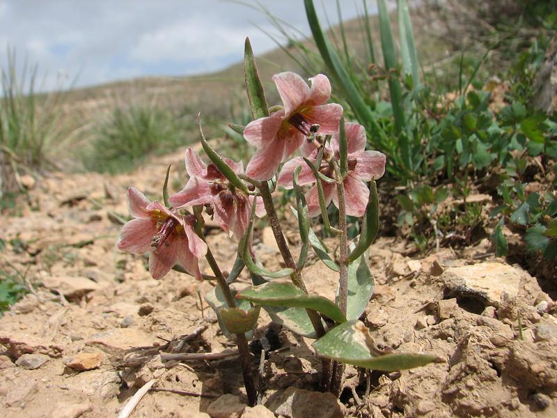 Rhinopetalum gibbosum (=Fritillaria gibbosa)