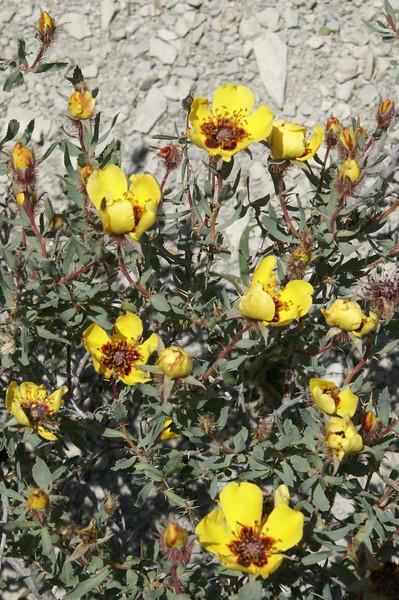 Rosa persica