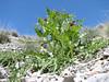 Gundelia rosea