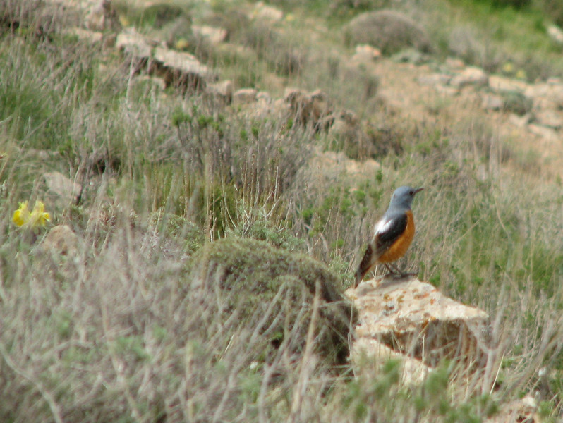 Monticola saxatilis, Rock Thrush in English, (NL:Rode rotslijster)