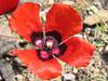 Papaver pavonicum