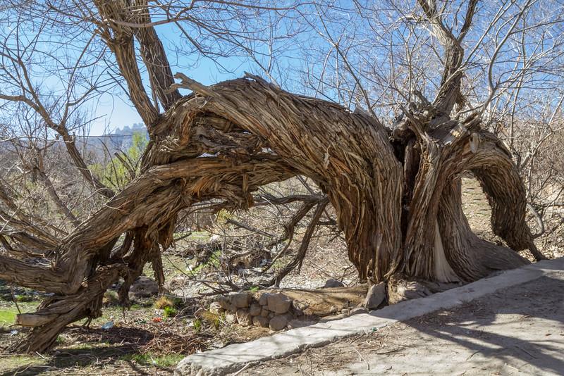Salix excelsa