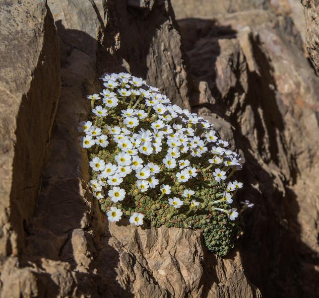 Dionysia curviflora, forma alba