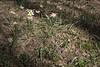 Tulipa buhseana and Muscari neglectum