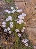 Dionysia curviflora