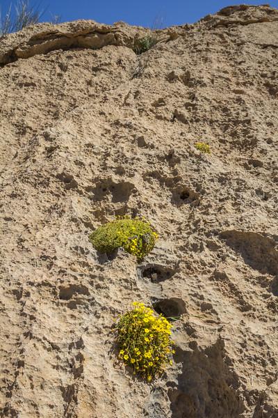 Dionysia sarvestanica ssp. spathulata