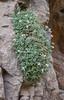 Aubrieta parviflora