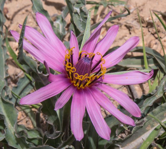 Tragopogon jezdianus