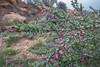 Astragalus 3