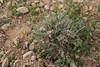 Astragalus spec. ? 72