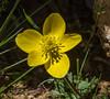 Anemone petiolulosa