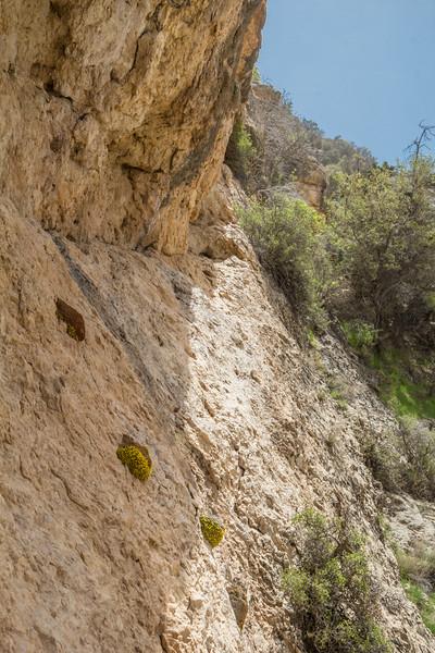 Dionysia sarvestanica ssp. sarvestanica