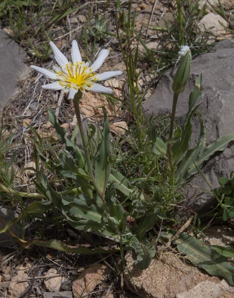 Tragopogon collinus