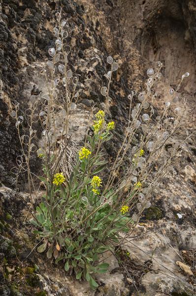 Fibigia cf. macrocarpa (Boiss.) Boiss.   (Fibigia clypeata)