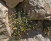 Phagnalon rupestre