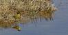 Motacilla flava ssp. feldegg