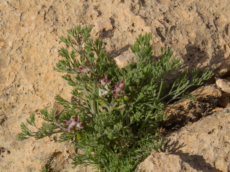Fumaria densiflora