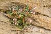 Scrophularia spec