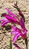 Gladiolus persicus