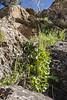 Umbelicus intermedius or U. tropaeolifolius 23