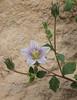 Campanula incanescens