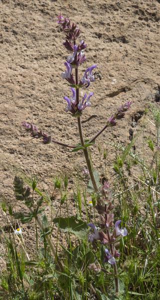 Salvia palaestina