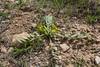 Astragalus spec. ? 31