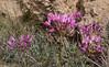 Allium umbilicatum