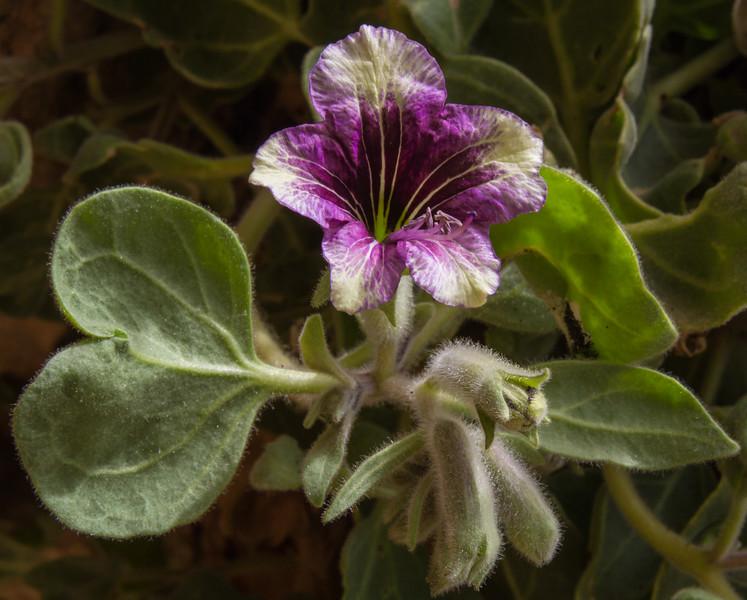 Hyoscyamus tenuicaulis