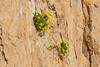 Dionysia diapensiifolia ?