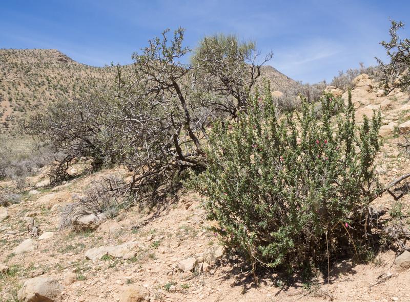 Astragalus fasciculifolius