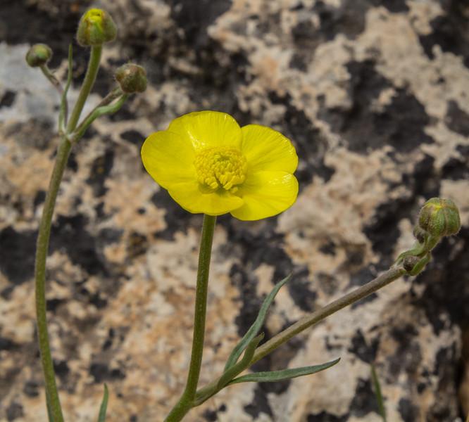 Ranunculus aucheri