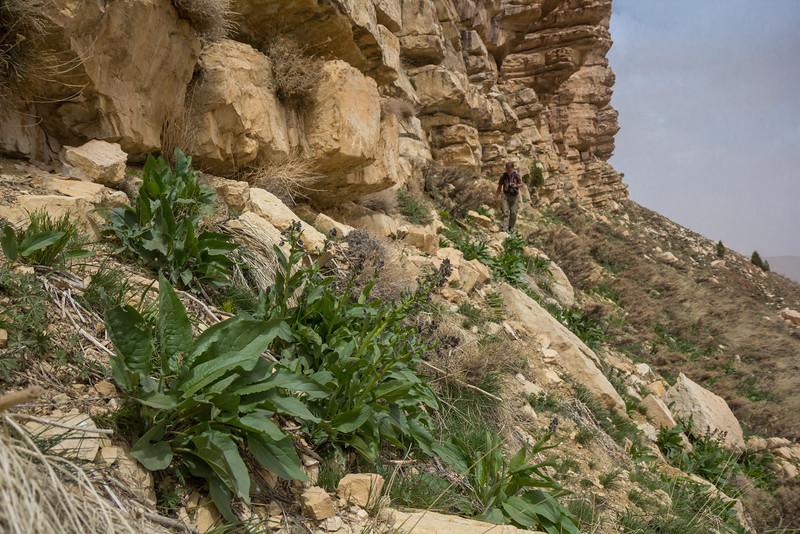 Solenanthus circinnatus