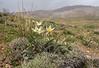 Tulipa buhseana   46
