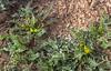 Astragalus spec. 42