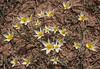 Tulipa buhseana   40
