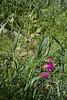 Silene conoidea and Gladiolus italicus