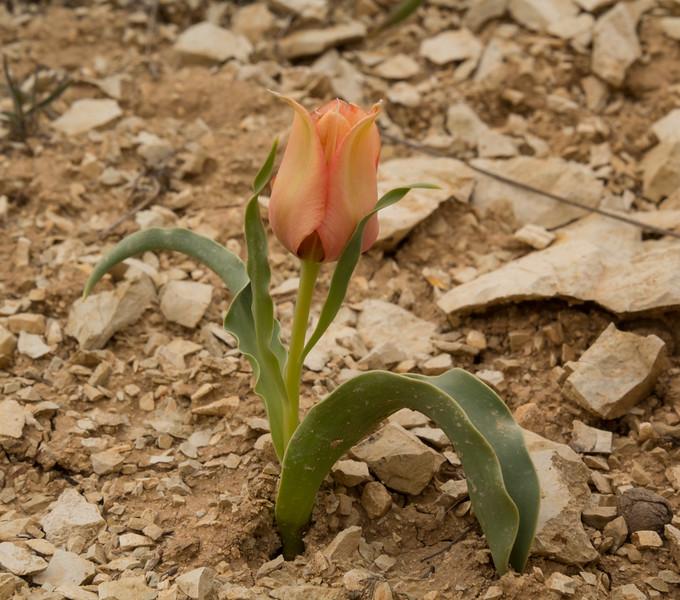 Tulipa systola